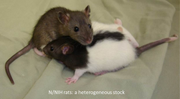 HS Rats